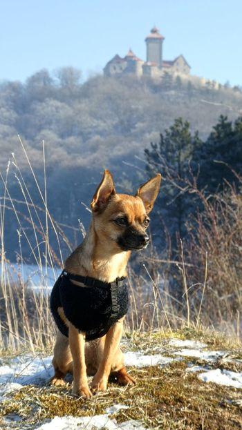 Animal Themes Burg Chihuahua Chihuahua Love ♥ Chihuahualovers Day Dog Dog Love Dogs Domestic Animals Hund Landscape Landscape_Collection Landscape_photography Mammal Nature Outdoors Sky Thuringen Thüringen Erleben Thüringen_entdecken Veste Veste Wachsenburg Wachsenburg