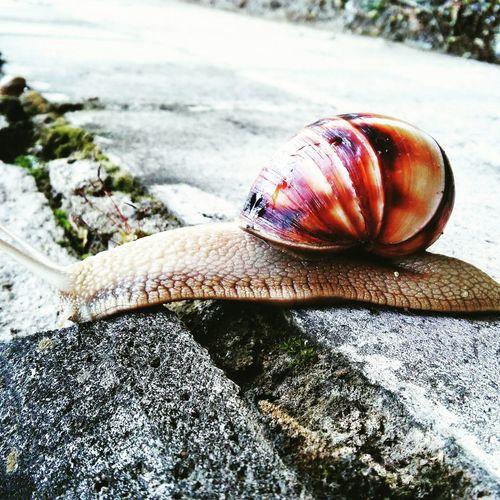 Snail Salyangoz