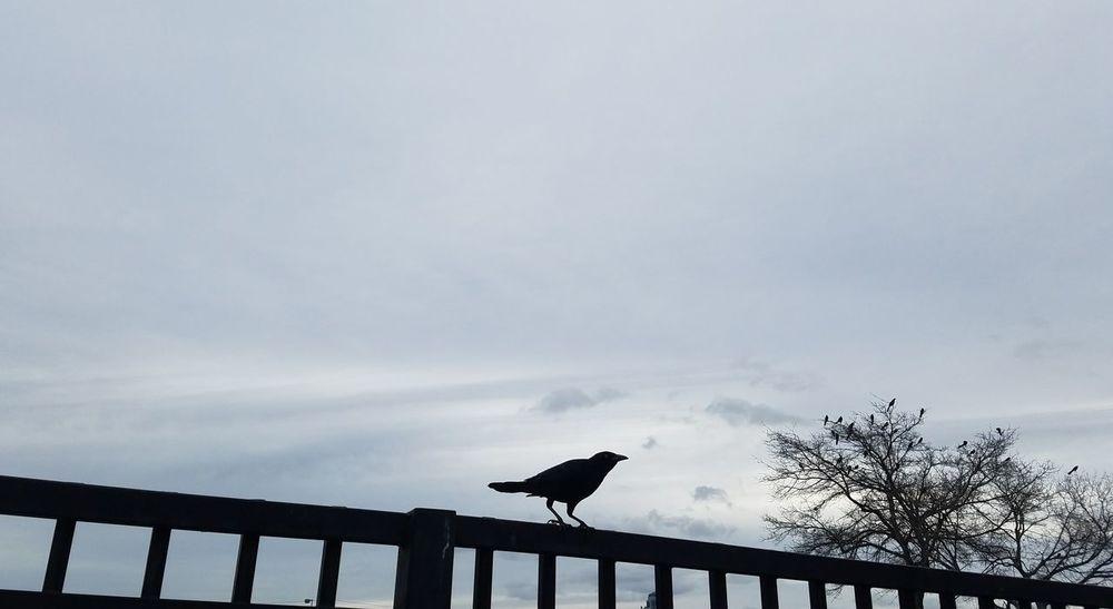 crow Bird Animal Wildlife One Animal Animals In The Wild Animal Themes Silhouette Outdoors