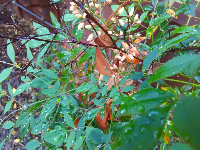Flower Buds Flowers,Plants & Garden Flowering Plant Brown Leaves Orange Leaves Green Leaves Rainy Days☔ Water Drops Rain Drops On Leaves EyeEm Nature Lover Plants 🌱 Leaves🌿 Plant Photography My Photography Garden Photography