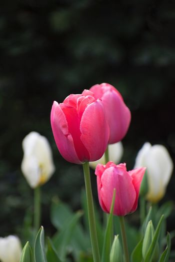 Tulips Tulip Flower Flowering Plant Plant Fragility Beauty In Nature Freshness Vulnerability  Growth Close-up Pink Color Petal Nature Flower Head Inflorescence Springtime Plant Stem Focus On Foreground