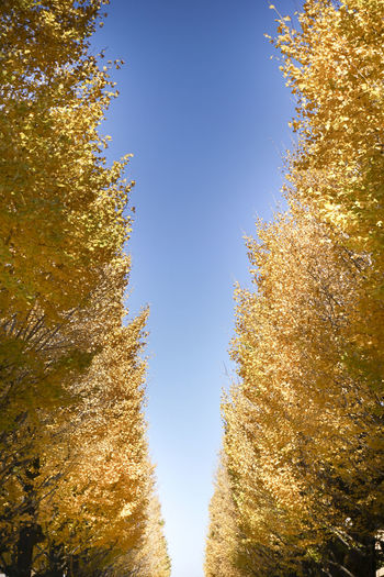 Japan Autumn Beauty In Nature Clear Sky Day Leaf Low Angle View Nature No People Outdoors Scenics Sky Tree 並木道