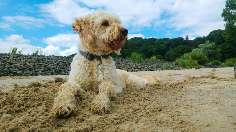 Close-up of yorkshire terrier on sand at beach against cloudy sky