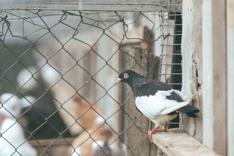 Pigeon farm Farm Animal Themes Animal Wildlife Bird Close-up Day Nature No People One Animal Outdoors Perching Pigeon Pigeon Farm