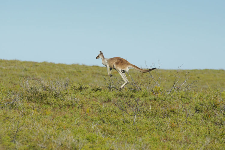 Kangaroo Running On Field Against Clear Sky
