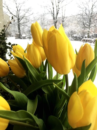 Close-up of yellow tulips in park