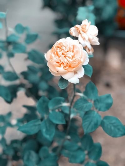 Flower Flowering Plant Plant Freshness Beauty In Nature Petal Fragility No People Growth Rose - Flower Vulnerability  Focus On Foreground Close-up Nature Day Flower Head Rosé Inflorescence Plant Part Leaf