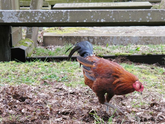 The local wildlife were not on the shy side! Chicken Cockerel Foul  Winged Bird Birds Digging A Grave Nature Photography Nature Graveyard Beauty Grave Graveyard Gravestone Foraging Pecking Animal Graves One Eyed Feathers Rooster Graveyard Collection Haworth Check This Out Taking Photos