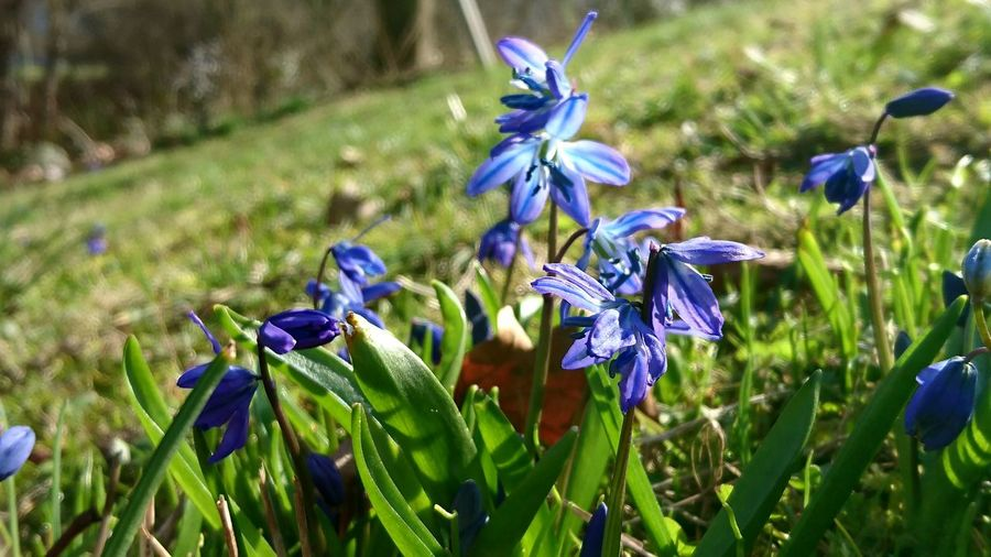 Blue Flowers Scilla Siberica in Spring Spring Flowers Flowers Flowerporn Frühling 2016 🌾 Blumen Wildflowers