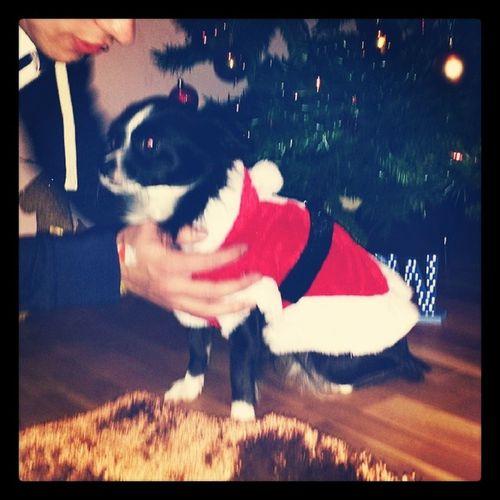 Christmas PooPoo Chihuahua Instadog Christmasdog Festivepup Poopoopaws