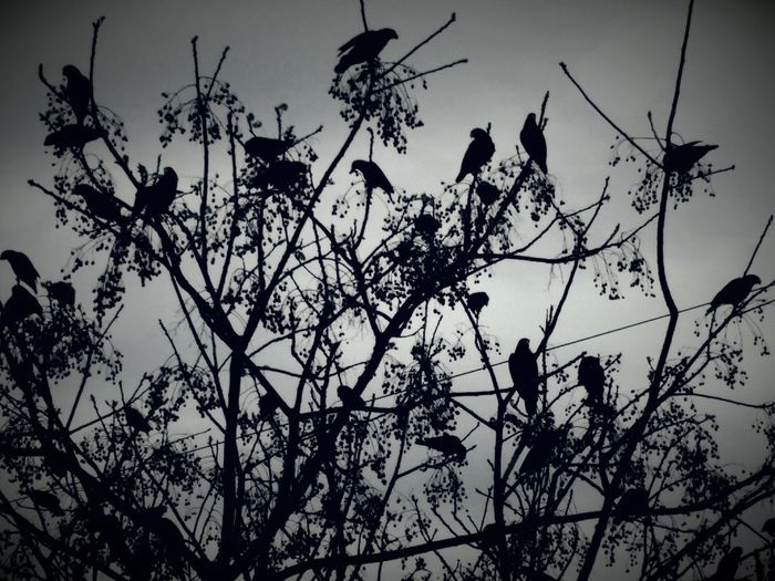 "A new take on, ""The Birds"" EyeEmNewHere Parrots Thebirds Alfred Hitchcock Cloudy Day Storm Storm Brewing Fauna Florida Nature Beauty In Nature Beauty Of Nature Bird Tree Perching Flower Branch Silhouette Sky Animal Themes Plant Visual Creativity This Is Family"