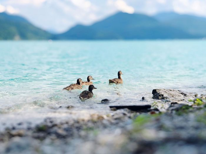 Duckfamily in the Diamondcolored water of the beautiful lake Walchensee. Walchensee Water Selective Focus Animal Wildlife Animal Beauty In Nature Nature Animals In The Wild Animal Themes Day Sea Group Of Animals Bird Mountain No People Scenics - Nature Outdoors A New Perspective On Life Holiday Moments Human Connection EyeEmNewHere 17.62°