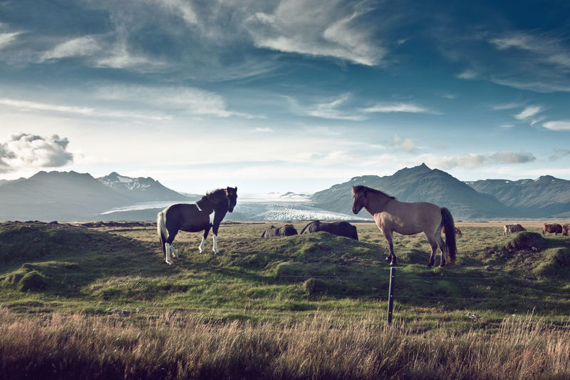 Horses in Iceland Animal Themes Animal Wildlife Animals In The Wild Beauty In Nature Cloud - Sky Day Domestic Animals Glacier Grass Horse Iceland Landscape Mammal Mountain Nature No People Outdoors Scenics Sky Sunlight Iceland Horses