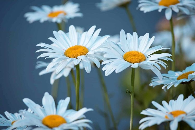 EyeEm Best Shots EyeEm Nature Lover EyeEm Selects Beauty In Nature Blooming Close-up Daisy Day Flower Flower Head Fragility Freshness Growth Nature Nature-hd-wallpaper No People Outdoors Petal Plant Pollen Summer
