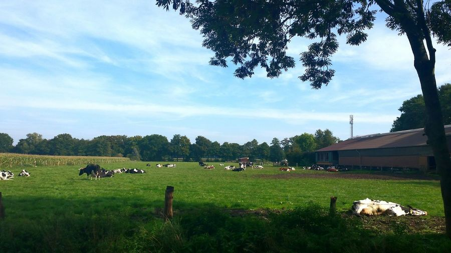 "GERMANY, Wedemark Near Hanover Grazing Cattle Happy Cows, one Cow - i never saw s cow alive like that before. was worried and ""muuuuuut"" at it. it moved its ear and tale as an answer - so it obviously was just Taking A Sunbath 😃👍. Cows Cattle Farm Cattle Cows In The Fields Cow Field"