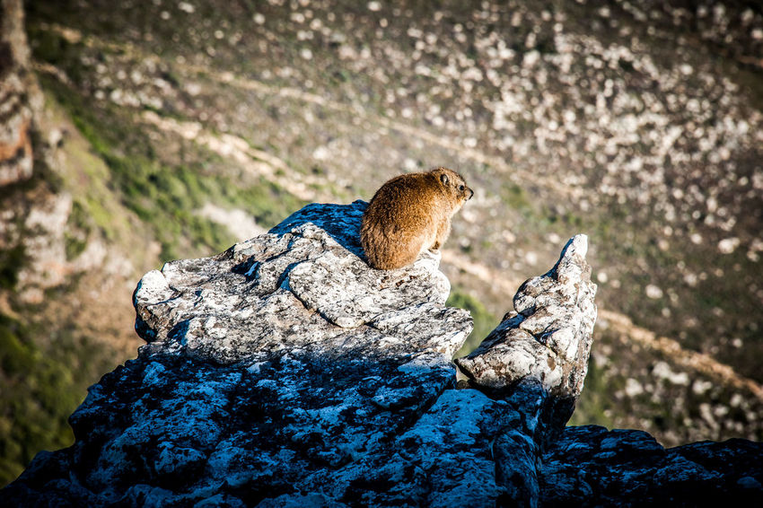 Animal Themes Animal Wildlife Animals In The Wild Dassie Day Focus On Foreground Mammal Mountain Nature No People One Animal Outdoors Rock Hyrax