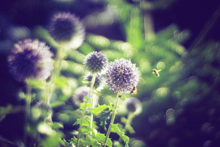 Bees Bees And Flowers Beauty In Nature Close-up Day Flower Flower Head Fragility Freshness Growth Nature No People Outdoors Plant Trioplan Trioplan50