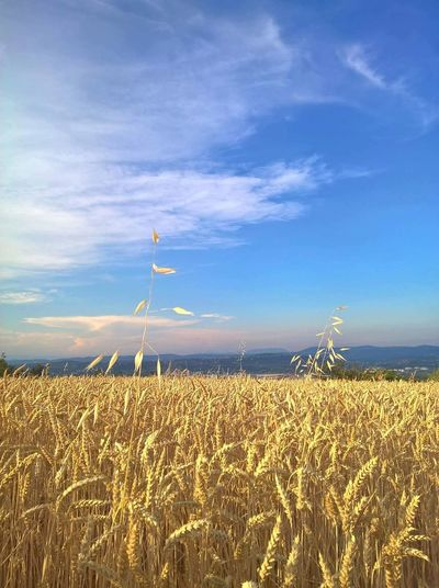Sky Rural Scene Cereal Plant Field Blue Landscape Crop  Agriculture No People Nature Outdoors Tranquility Wind Turbine Day Wind Power Sea Clear Sky