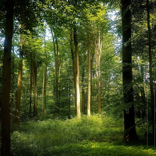 view Forest Photography Forest WoodLand Love Treetrunk Beauty In Nature Beautiful Earth Nature Nature Photography Naturelovers Light And Shadow Sunny Calmness Of Nature Ambiance Tree Forest Bamboo - Plant Grass Sky Green Color Growing Tree Trunk Branch Bark Bare Tree Green