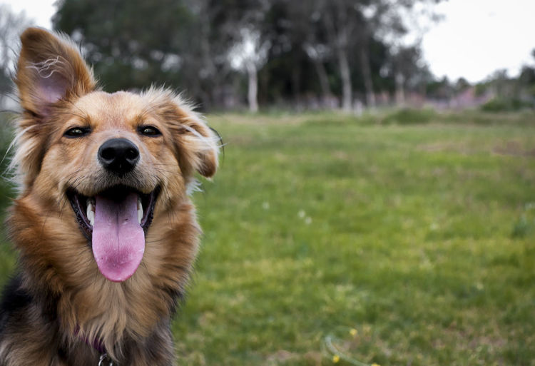 Portrait of dog sticking out tongue on grass
