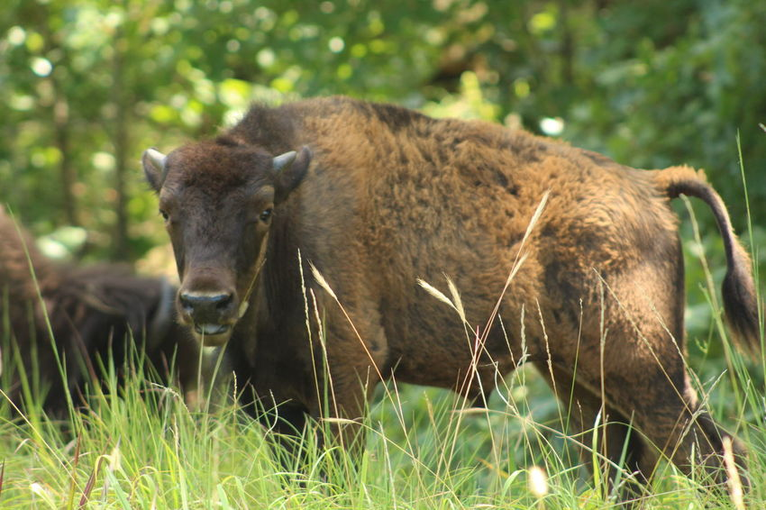 EyeEm Selects American Bison Portrait Wind Instrument Wilderness Grass Foraging Natural Parkland Animal Hair Horned Buffalo