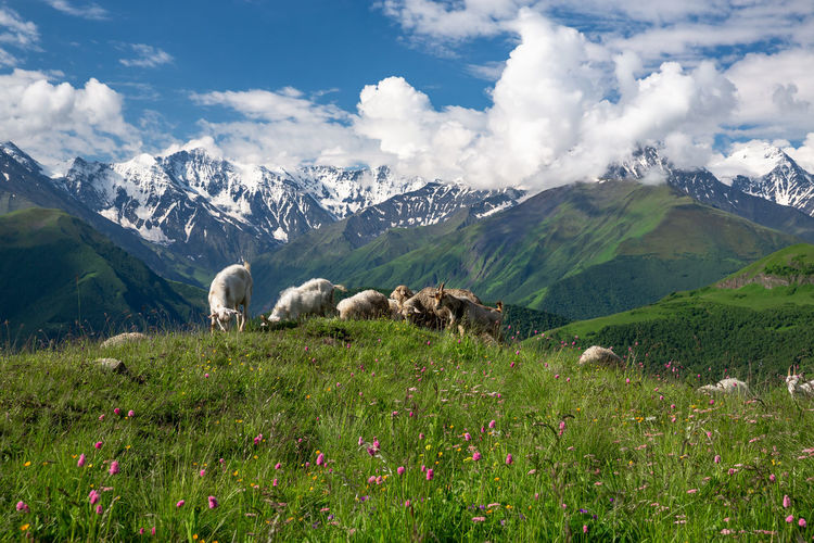 View of sheep on field against mountain range