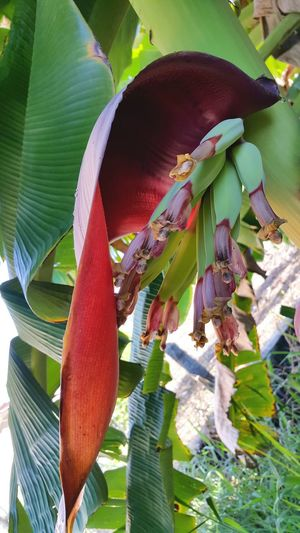 Banana Banana Tree Banana Peel Bananatree Banana Flower Nature Nature_collection Nature Photography Nature Beauty Green Green Nature
