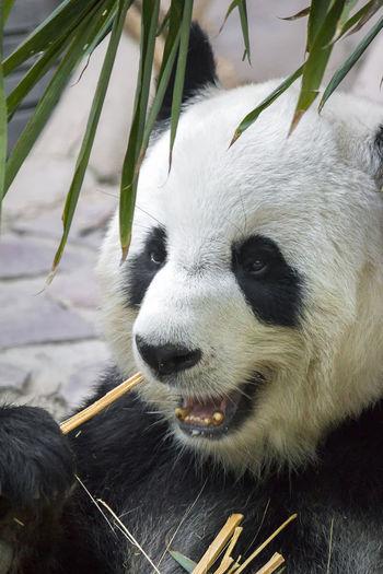 Close-up of giant panda