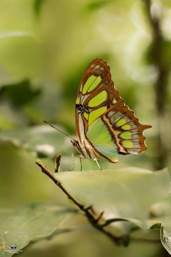 Pequena verde Green Green Color MestreAlvaro Nature Butterfly Insect Montain