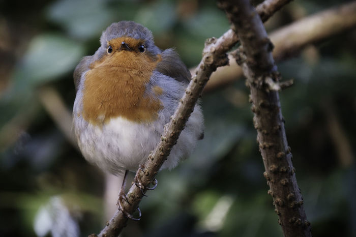 As winter moves in the birds begin to look plumper.... all fluffed up.... keeping warm. This little Robin Redbreast looks nice and toasty warm. Vertebrate Animal Themes Bird Animal One Animal Branch Perching Animal Wildlife Animals In The Wild Tree Focus On Foreground Plant Close-up Day Nature No People Selective Focus Twig Outdoors Zoology Robin Robin Redbreast Orange Red
