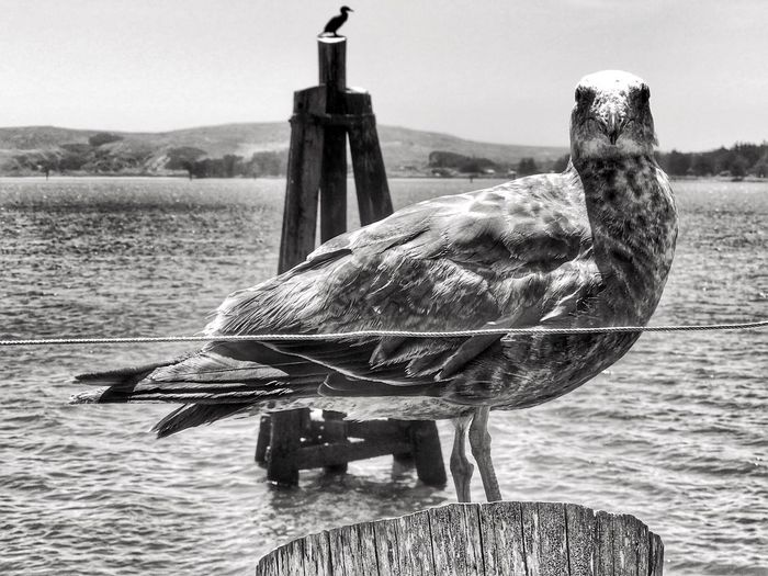 Bird Outdoors Perching Blackandwhite Monochrome Photography California Coast Seagull