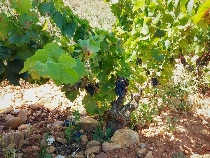 Winery Chateauneufdupape Cotes Du Rhone Wine Tasting Châteauneuf-du-Pape