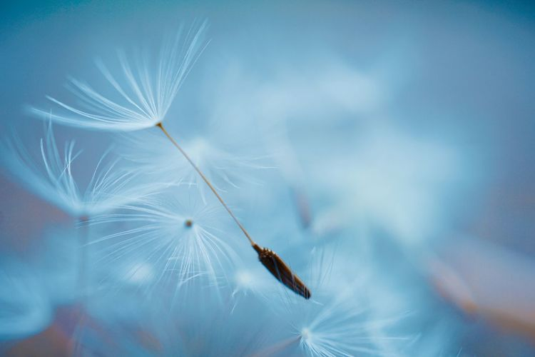 Beautiful dandelion flower seed, abstract and blue background