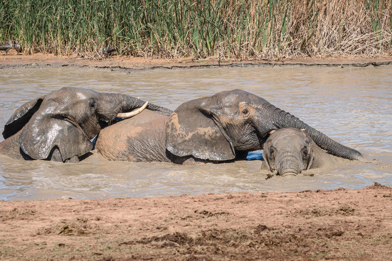 View of elephant resting in river