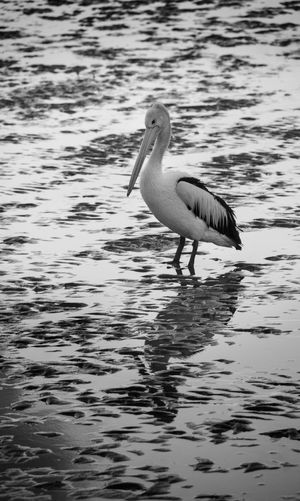 Animals In The Wild Bird Nature Pelican Reflection Water Water Bird Waterfront Wildlife