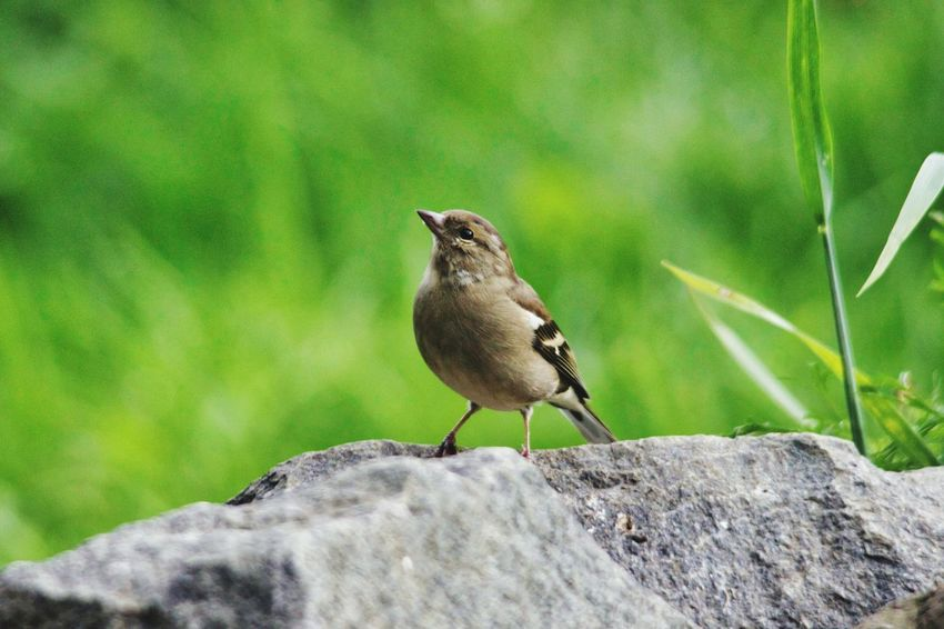 Bird Perching Sparrow Mourning Dove Songbird  Close-up