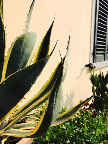 Growth Plant Leaf Green Color No People Aloe Vera Plant Day Building Exterior Close-up Outdoors Flower Cactus Nature Architecture