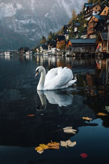 Water Animal Themes Bird Animal Lake Swan Reflection Swimming Nature One Animal Day Built Structure Floating On Water White Color Outdoors Water Bird Vertebrate Lake View Mountain Austria Alps Village Hallstatt Beauty In Nature Autumn Autumn Mood