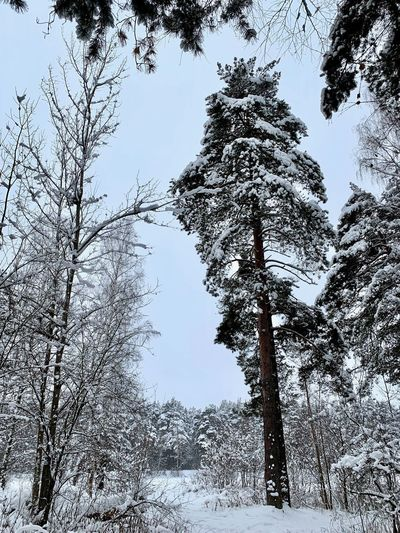 Nature No People Winter Wintertime Winter Wonderland Beauty In Nature Snow Cold Temperature Covering Tranquil Scene Scenics - Nature Snowing Snow Covered Russia Russian Winter Forest Winter Forest Winter Landscape WoodLand Non-urban Scene Land