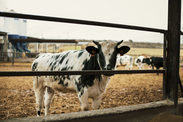 Cows standing in ranch