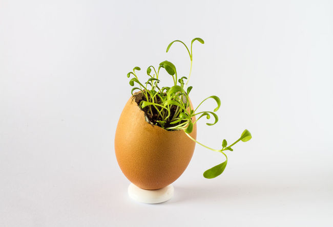 A beautiful fresh sprouts in an egg shell. Miniature garden of healthy food. Ecological food. Easter Eco Raw Close-up Egg Food Freshness Healthy Eating No People Organic Shell Spring Sprout
