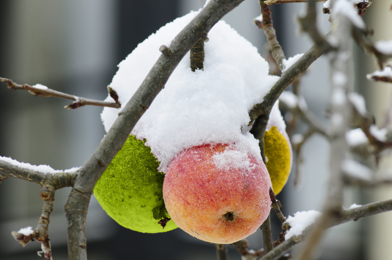 winter, snow, cold temperature, focus on foreground, close-up, fruit, branch, frozen, day, no people, plant, tree, nature, healthy eating, white color, food and drink, outdoors, food, ice