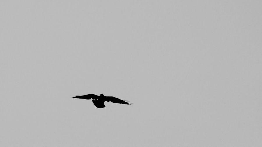 Americanraven Wildlife Bird Photography Silhouette Nature