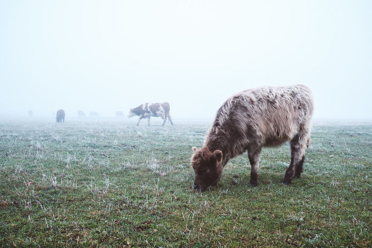 cool cow. Animal Animal Themes Beauty In Nature Cow Fog Grass Grazing Green Color Nature Pasture Winter