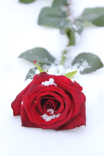 Winter Rose Red