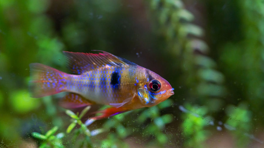 Close-up of fish swimming in planted aquarium