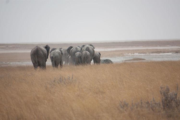 Group Of Elephants Walking On Plain