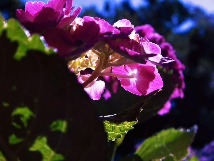 Hydrangea Nature Sunlight Close-up Flower Flower Head Flowering Plant Growth Nature No People Outdoors Petal Pink Color Plant