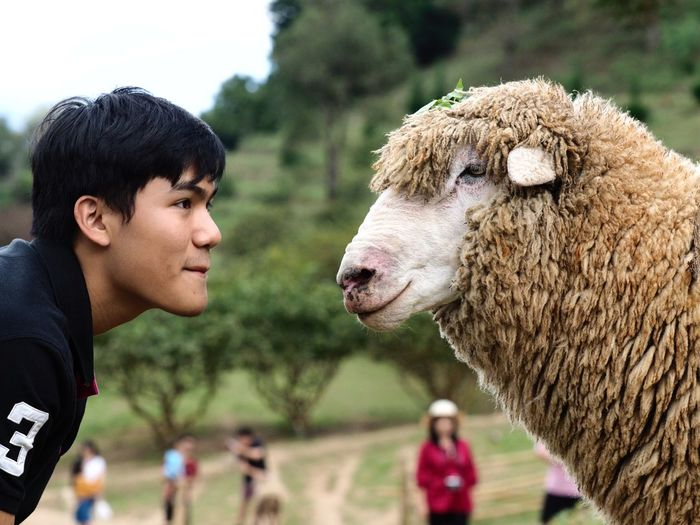 Side view of man looking at sheep on field