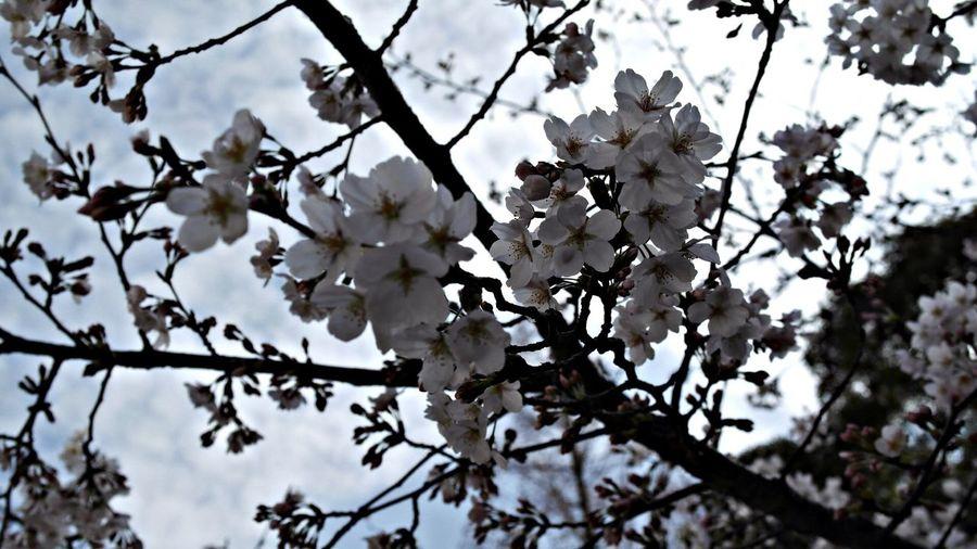 桜はが満開した。벗꽃이 만개했다.역시나 이쁘네.